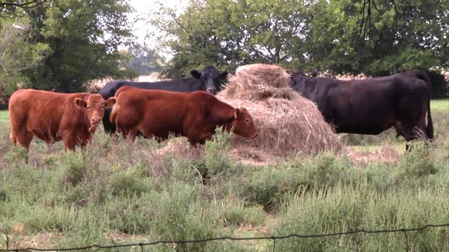 A lack of rain threatens the food supply for Texoma cattle. (KTEN)