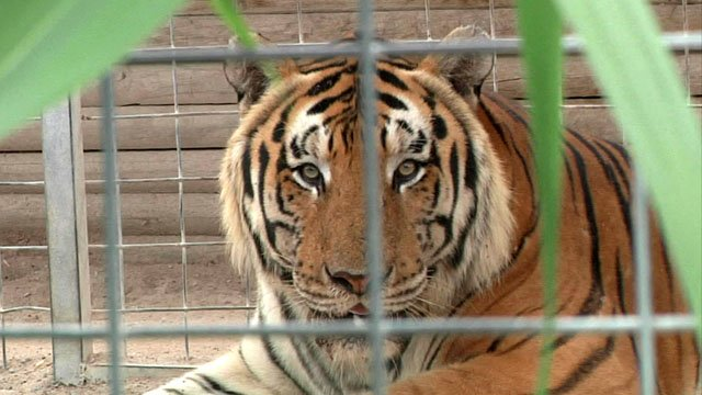 File photo of a tiger at the Greater Wynnewood Exotic Animal Park. (KTEN)