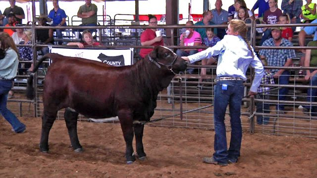 Braylee Cowan shows her livestock at the Fannin County Fair. (KTEN)