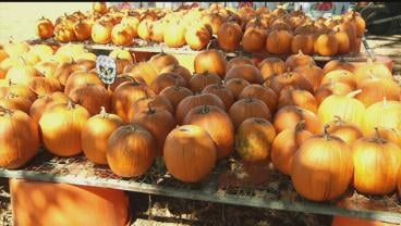 You can pick your own pumpkin at Minyard Farms in Marshall County. (KTEN)