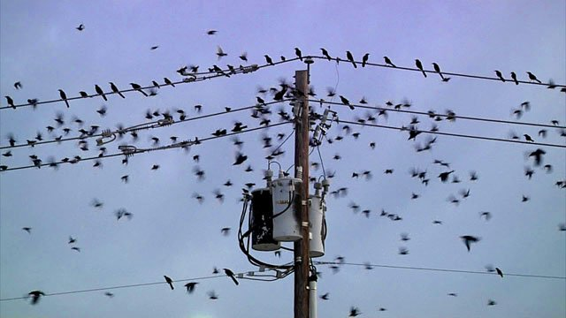 Thousands of grackles congregate at the intersection of U.S. 75 and U.S. 82 in Sherman. (KTEN)