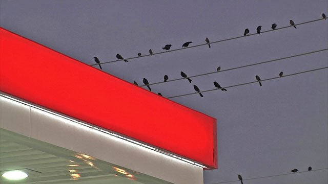 Businesses in the path of the grackle migration try to take action to minimize their impact. (KTEN)