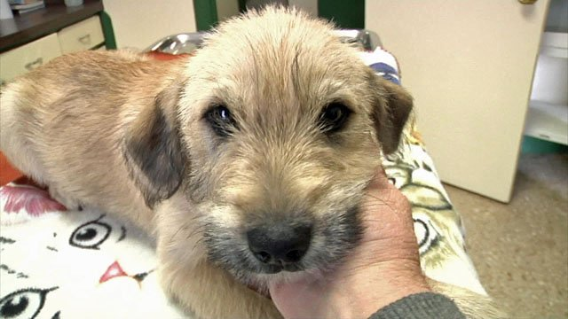 This Irish Wolfhound Pointer mix puppy is KTEN's Pet of the Week. (KTEN)