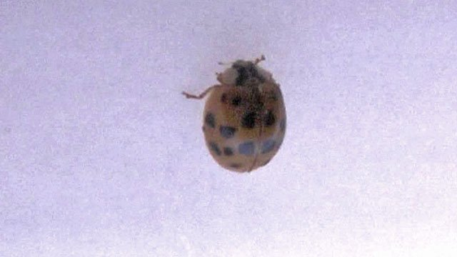 The Asian lady beetle can be a nuisance, but it poses no danger. (KTEN)
