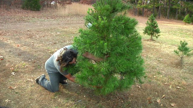 Elves Christmas Tree Farm in Denison says it has an adequate supply for the 2017 season. (KTEN)