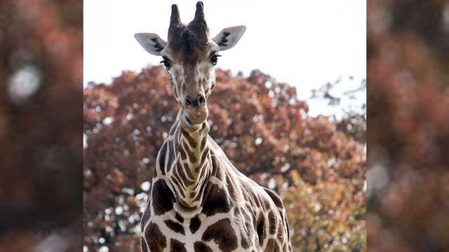 Urusla had been a fixture at the Oklahoma City Zoo for more than three decades. (Courtesy Oklahoma City Zoo)