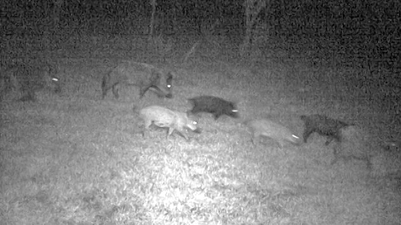 Feral hogs caught by a trail camera on land in northern Denton County, Texas. (KTEN)