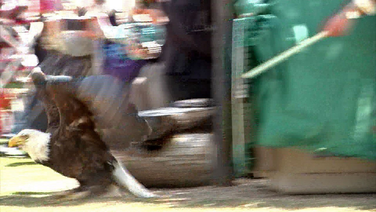 A bald eagle is released at the Chickasaw Cultural Center after recovering from a poisoning. (KTEN)