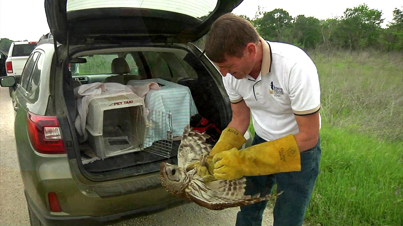 Erich Neupert of the Blackland Prairie Raptor Center prepares to release a barred owl following rehabilitation. (KTEN)