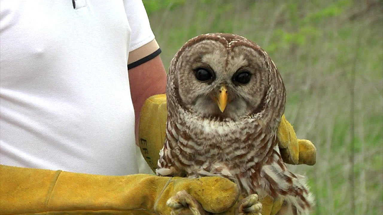 This barred owl was injured after becoming ensnared in fishing line at the Hagerman National Wildlife Reserve. (KTEN)