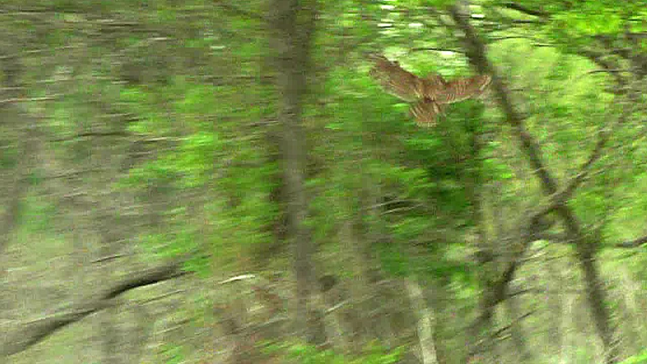 A rehabilitated barred owl flies to a tree at the Hagerman National Wildlife Refuge. (KTEN)