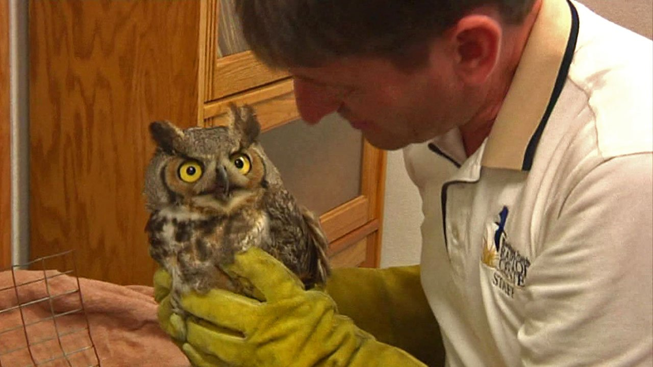 This great horned owl may have been hit by a car. (KTEN)