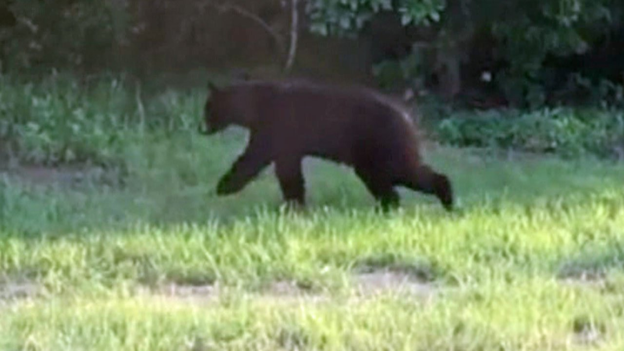 A black bear was seen in Bells, Texas, on May 11, 2018. (Photo courtesy Rhonda Meller Kaczor)