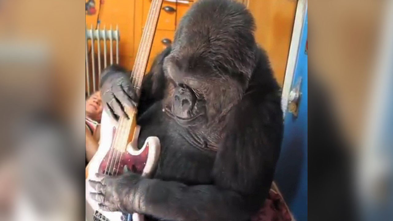 Koko holds a guitar in 2016. (FolsomNatural/CC-BY-2.0)