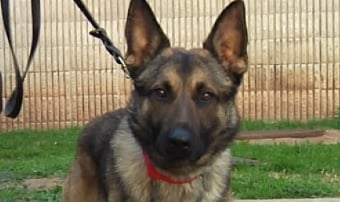 """Grayson County's new drug dog """"Thor"""" in December."""