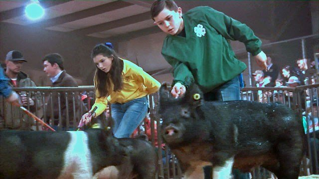 Caden Goodson wrangles a pig at the Choctaw Nation Livestock Show in Durant. (KTEN)