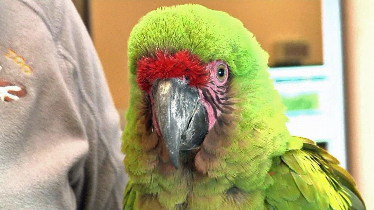 A parrot at Frank Buck Zoo prepares for flight training. (KTEN)