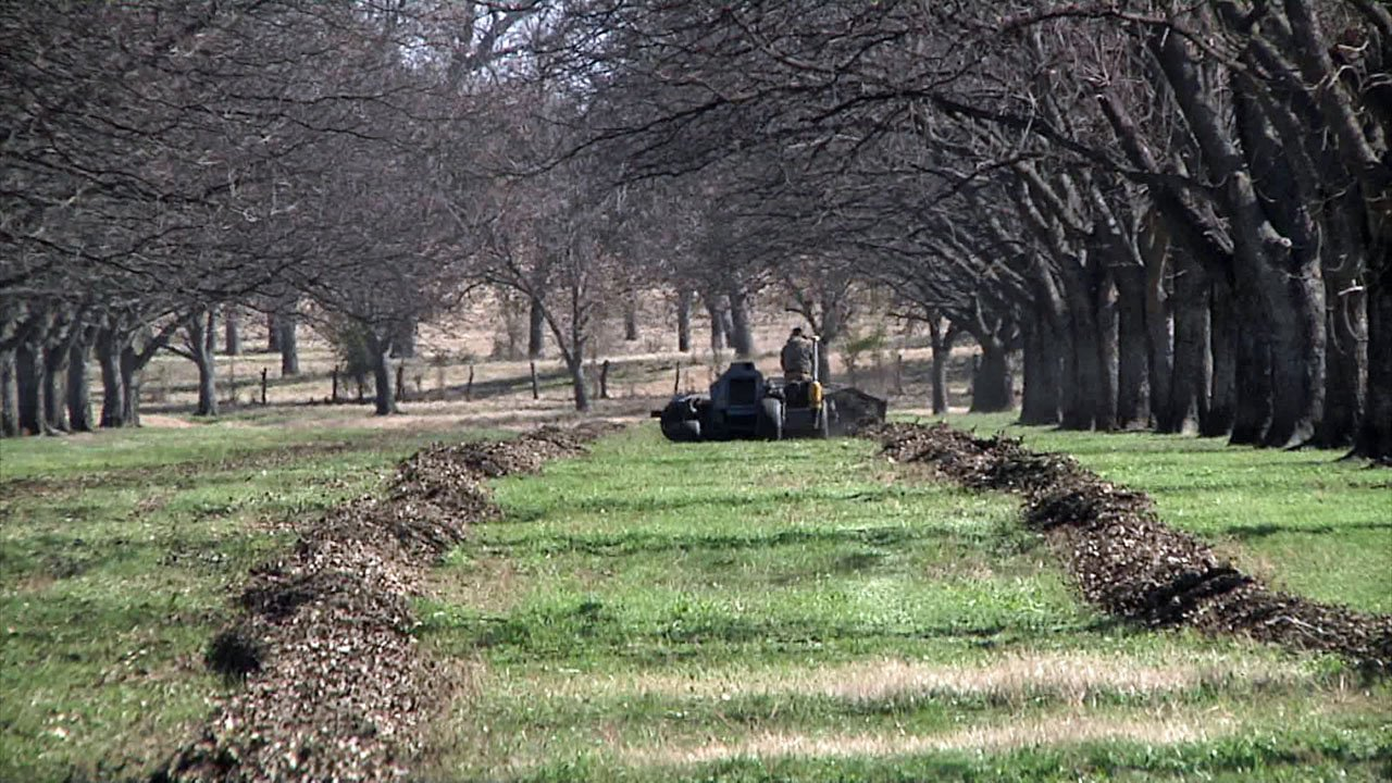 The 2018 pecan harvest fell short of expectations. (KTEN)