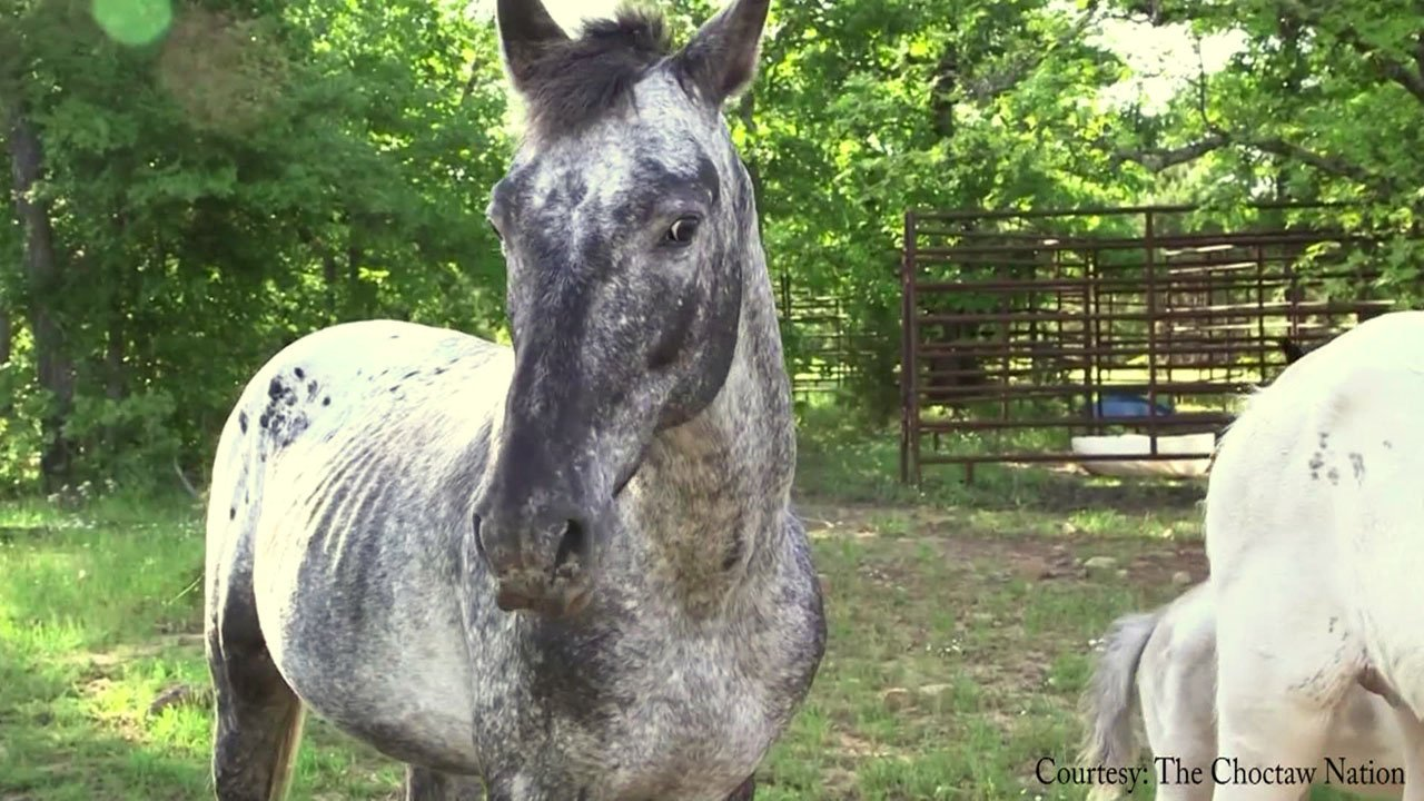 Lawmakers are considering naming the Choctaw pony as the state horse of Oklahoma. (Courtesy Choctaw Nation)