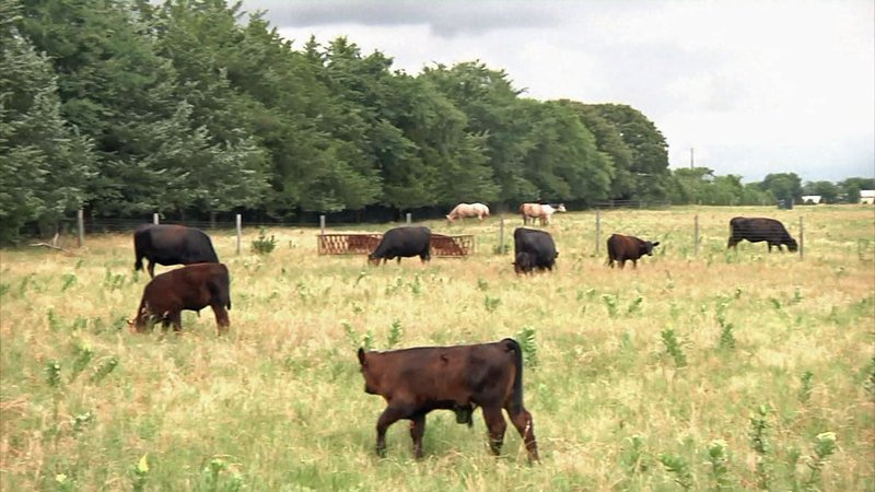 Fannin County Commissioners plan to register all cattle to help locate owners. (KTEN)