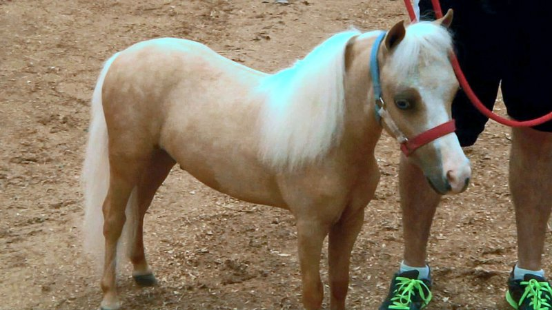 Miniature horses were the main attraction in Ardmore over the weekend. (KTEN)