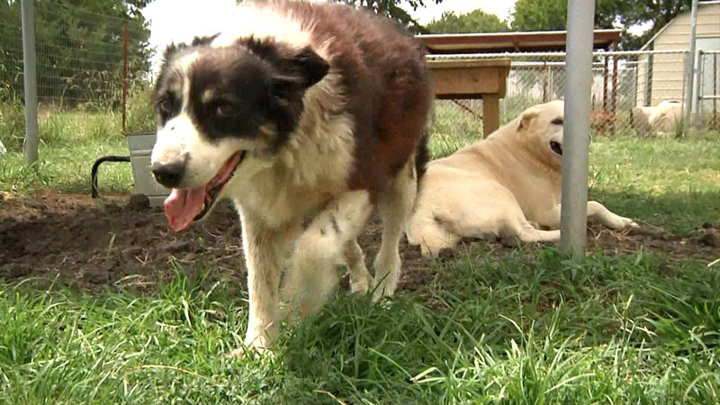 Senior dogs are often overlooked by prospective pet owners. (KTEN)