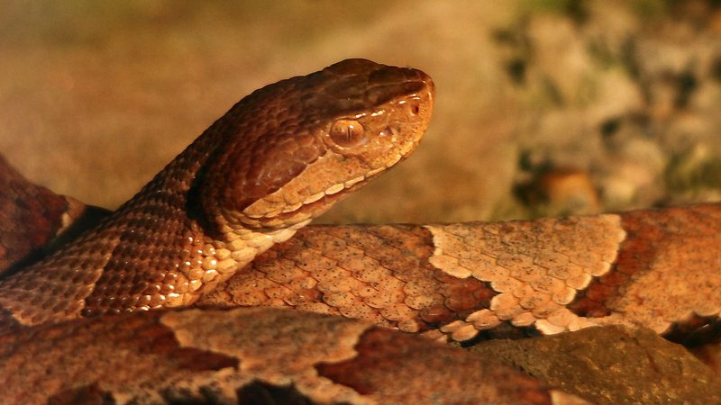 A file photo of a copperhead snake. (Courtesy ForestWander.com)