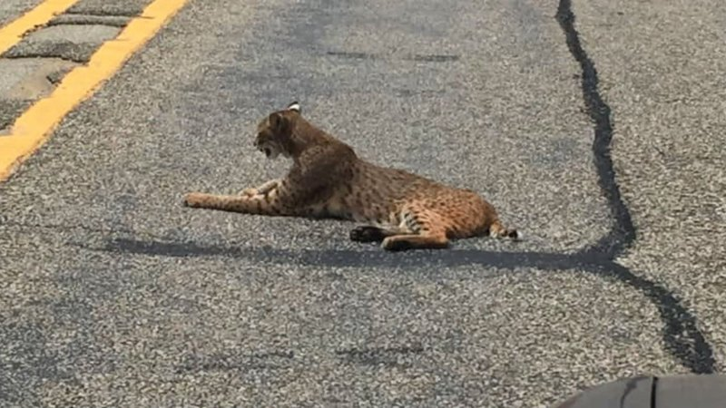 A bobcat was spotted in the middle of State Highway 56 near Savoy, Texas. (Courtesy)