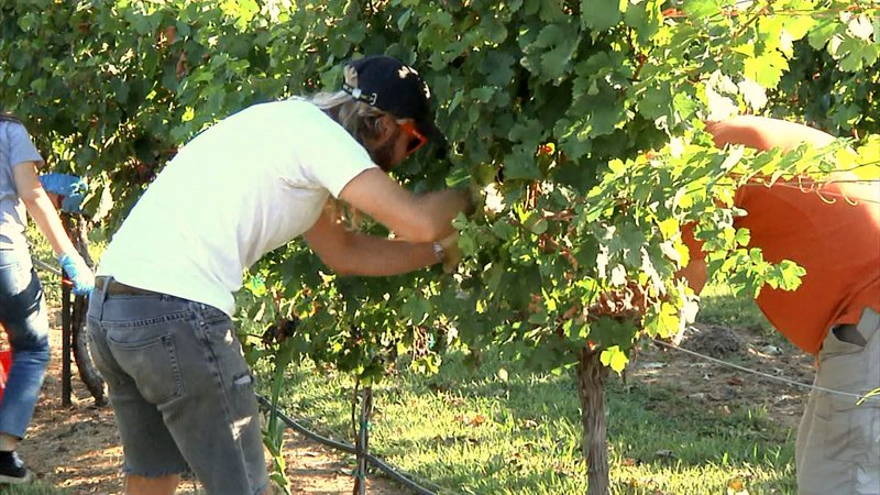 Grayson College students picked grapes at Hidden Hangar Vineyard in Denison. (KTEN)