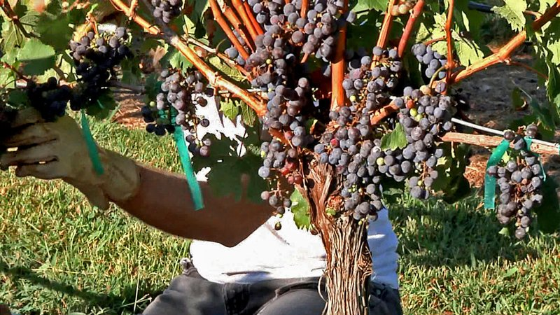 Would-be winemakers pick grapes at Hidden Hangar Vineyard in Denison. (KTEN)