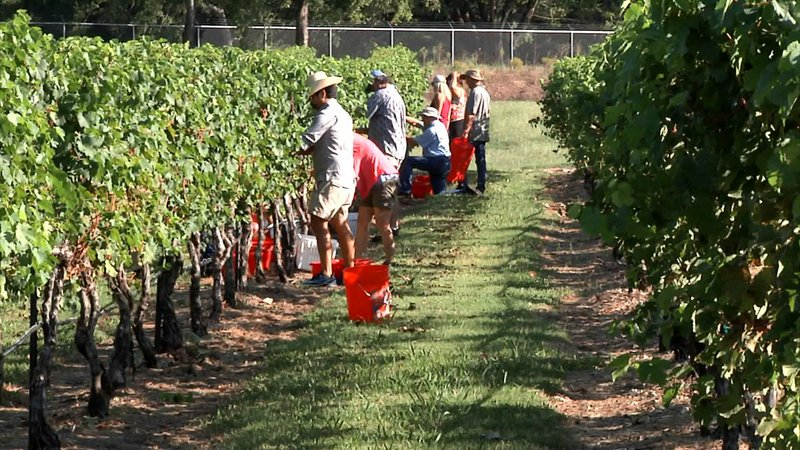 Grayson College students pick grapes at Hidden Hangar Vineyard in Denison. (KTEN)