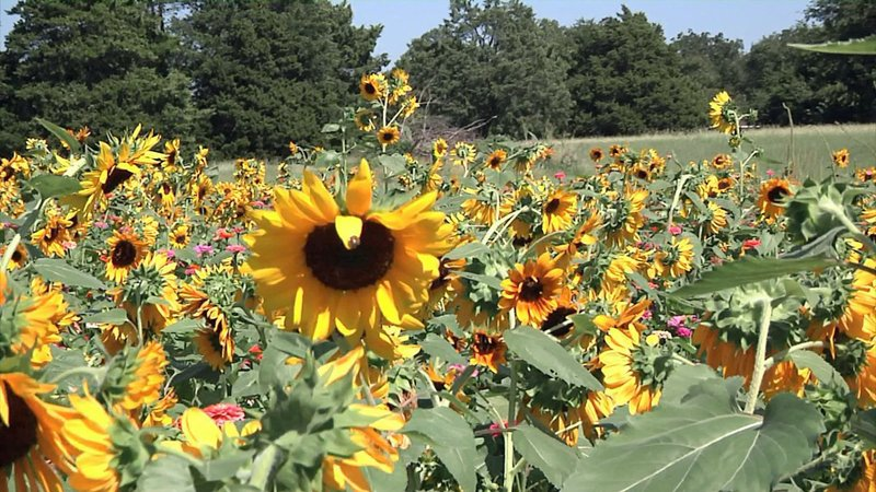 Sunflowers are another attraction at Wild Berry Farm. (KTEN)