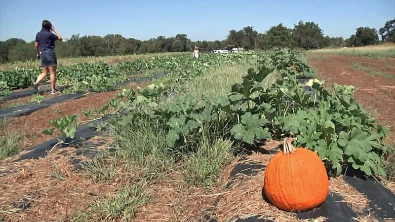 The pumpkin supply at Wild Berry Farm is reduced due to high temperatures. (KTEN)