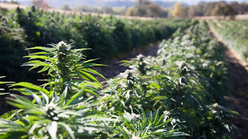The US Department of Agriculture this week posted formal federal guidelines for how hemp — the versatile cannabis varietal used for clothing, plastics, fuel and food — can be grown, harvested, tested, processed, transported and sold. (Shutterstock)