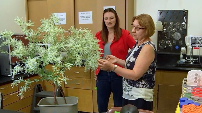 TWU scientists Camelia Maier and Dayna Averitt are studying a native Texas plant for its possible use in pain relief. (KXAS)